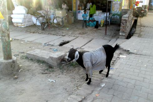This goat is wearing a shirt